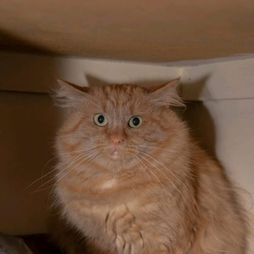 560 - Bailey - Domestic Short Hair Cat