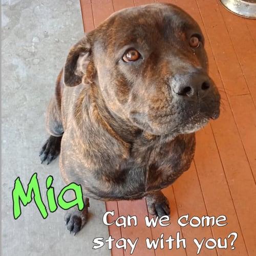 Mia - American Bulldog x Staffy Dog