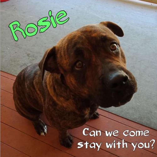 Rosie - American Bulldog x Staffy Dog