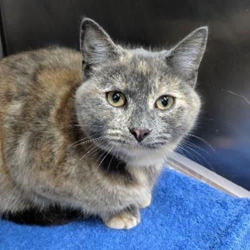 Doris  919956 - Domestic Short Hair Cat