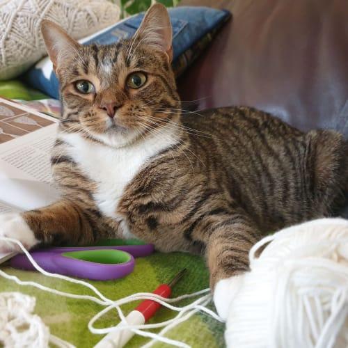 Stunning Georgio! - Domestic Short Hair Cat