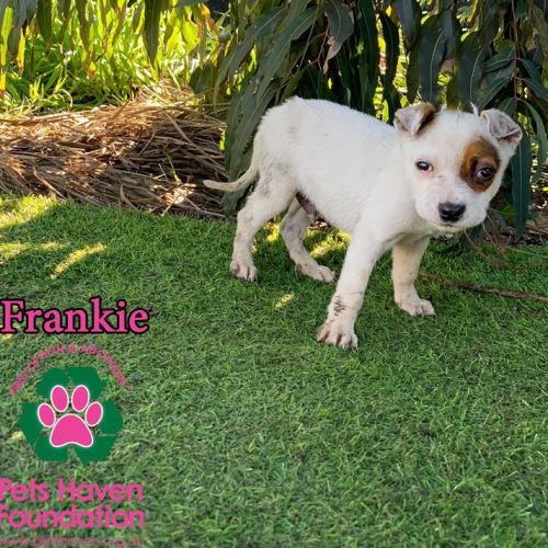 Frankie - Irish Wolfhound x Australian Cattle Dog