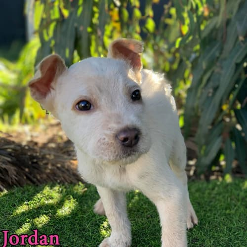 Jordan - Australian Cattle Dog x Irish Wolfhound Dog