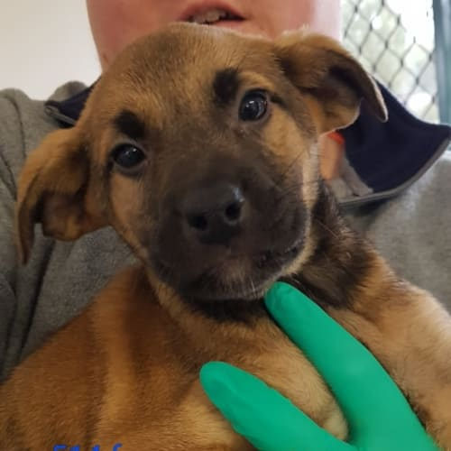 Miracle - Labrador Dog