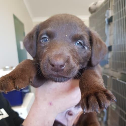 Milo - Labrador Dog