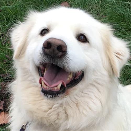 Sammy - Labrador Retriever x Samoyed Dog