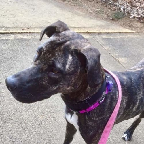 Akeira - American Staffordshire Terrier Dog