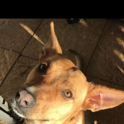 Ayah - Staffy x Corgi Dog