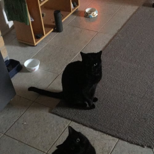 Bali & Indie (Located in Springvale) - Domestic Short Hair Cat