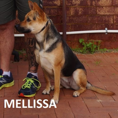 Melissa - German Shepherd Dog