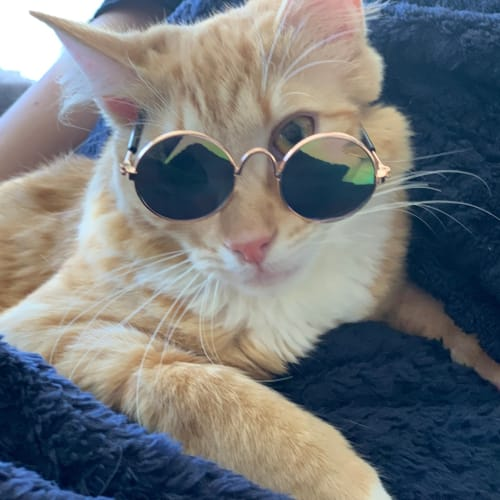 Butterscotch of Artarmon - Domestic Medium Hair Cat