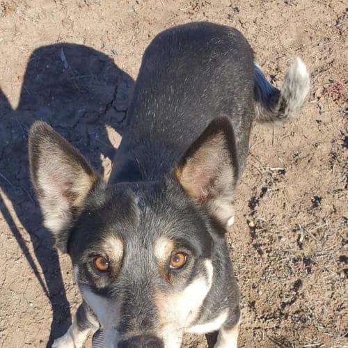 Buddy - Australian Cattle Dog x Kelpie Dog