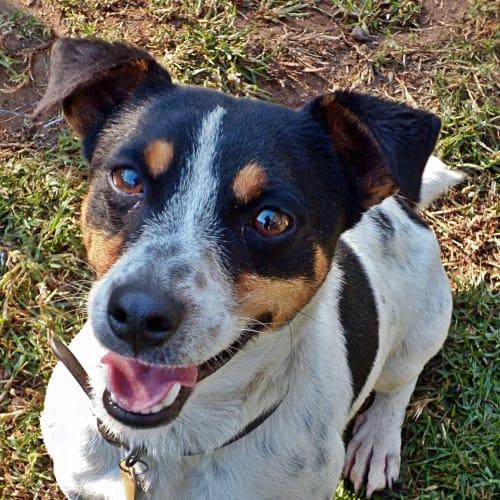 Derek - Jack Russell Terrier Dog