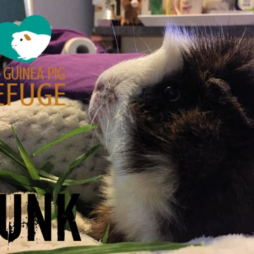 Punk (desexed male) - Abyssinian Guinea Pig