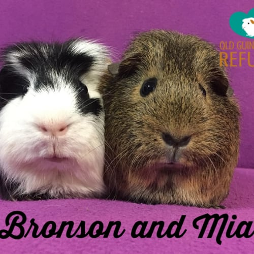 Bronson (desexed male) and Mia  - Smooth Hair x Crested Guinea Pig