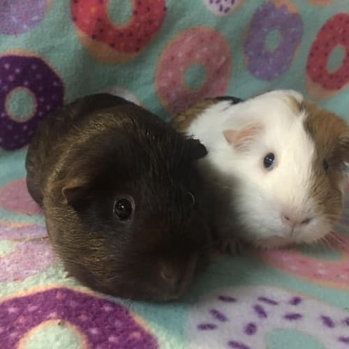 Pebbles and Sweet Pea - Smooth Hair Guinea Pig