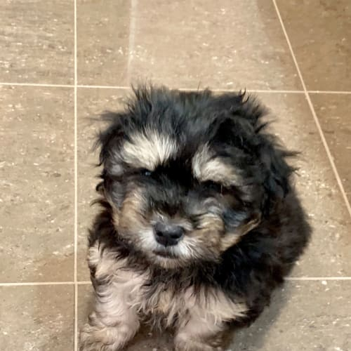 Louie one of 4 puppies  - Pomeranian x Silky Terrier Dog