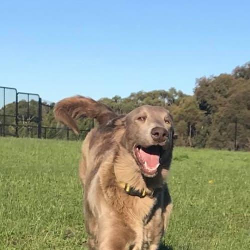 Shadow Dancer  - Weimaraner Dog