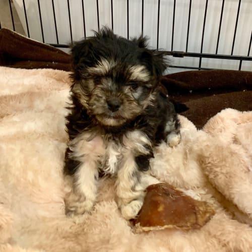 Bertie one of 4 pups  - Pomeranian x Silky Terrier Dog