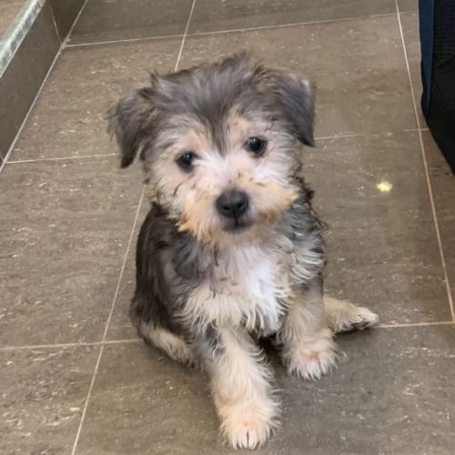 Harry a cute puppy  - Maltese x Silky Terrier Dog