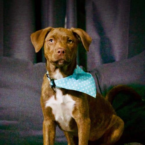 Sophie - Staghound x Mastiff Dog