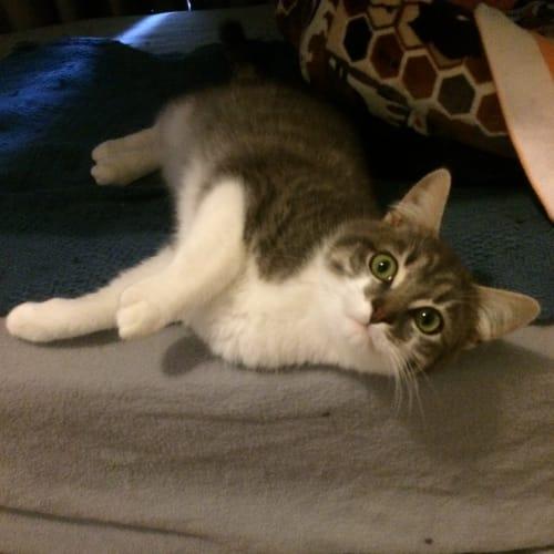 Burwood-Meet me Sunday @Adoption Day, HQ Preston - Domestic Short Hair Cat