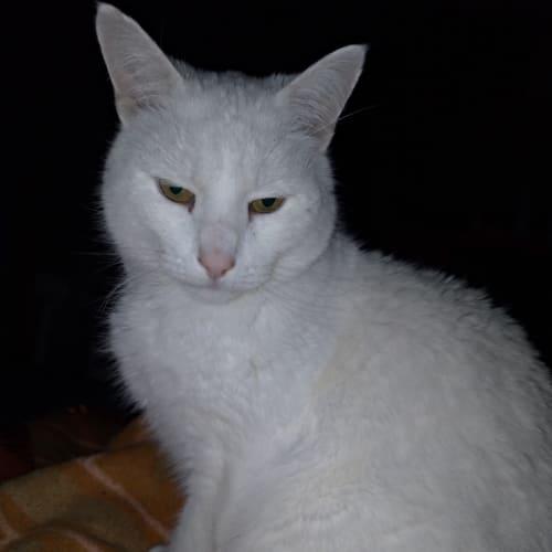 Kit - Located in Macleod - Domestic Short Hair Cat
