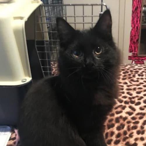 Prada - Domestic Medium Hair Cat