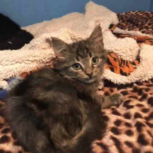 Drogon - Domestic Medium Hair Cat