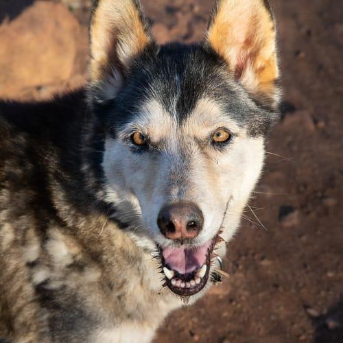 Missy - Siberian Husky Dog