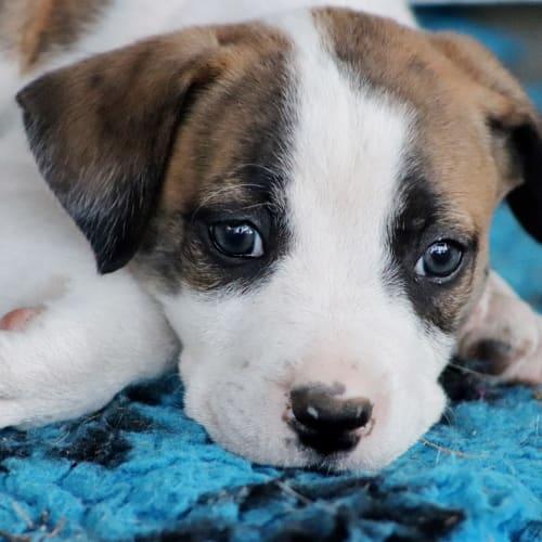 Lucifer - Australian Bulldog x Kelpie Dog
