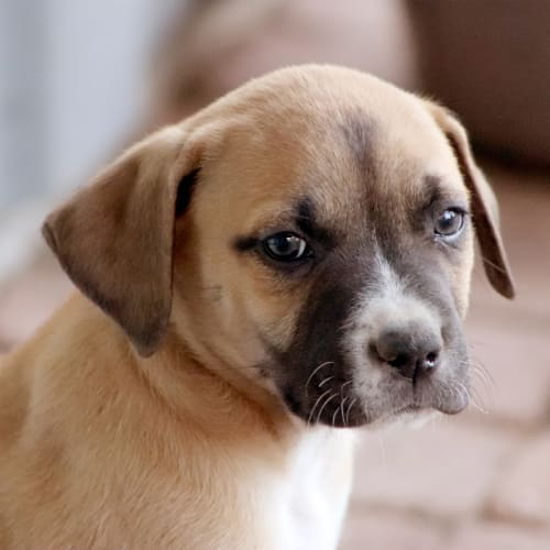 Luis - Australian Bulldog x Kelpie Dog