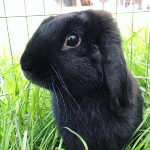 Jack - Lop Eared Rabbit