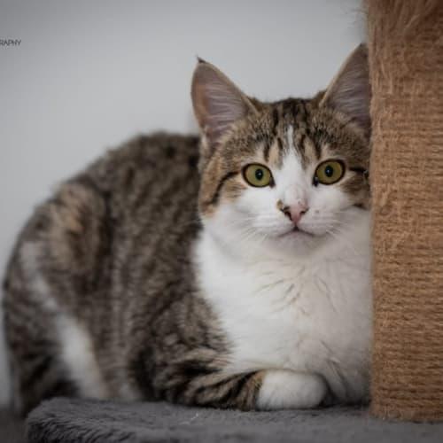 1183 - Apollo - Domestic Short Hair Cat