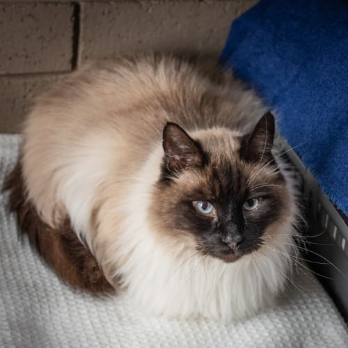 Andy - Ragdoll Cat