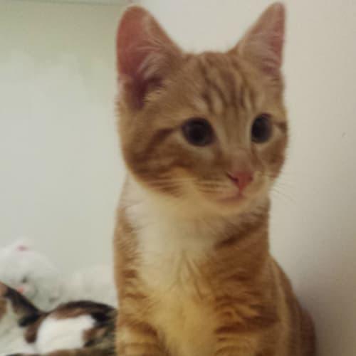 Koda - Domestic Short Hair Cat