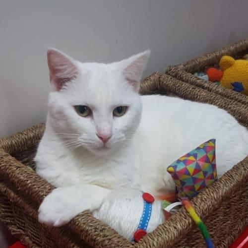 Winter -  Meet me in Cat Lounge/Neko HQ Preston - Domestic Short Hair Cat