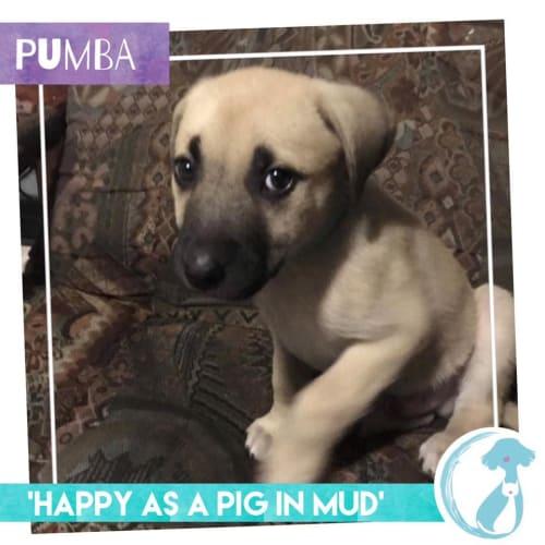 Pumba - Maremma Sheepdog x Shar-Pei Dog