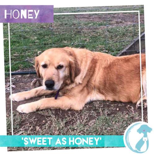 Honey - Golden Retriever x Labrador Dog