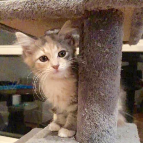 Princess Indie 🐱 - Domestic Short Hair Cat