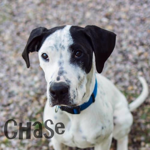 Chase - Bull Arab Dog