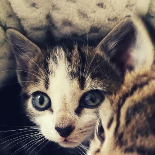 Bounty - Manx x Domestic Short Hair Cat