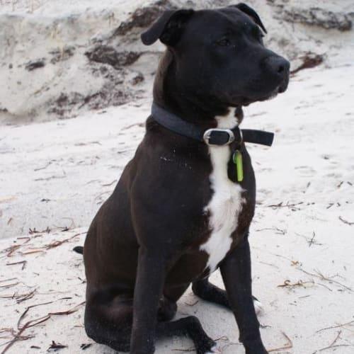 Buzz - Mastiff x Mixed Breed Dog