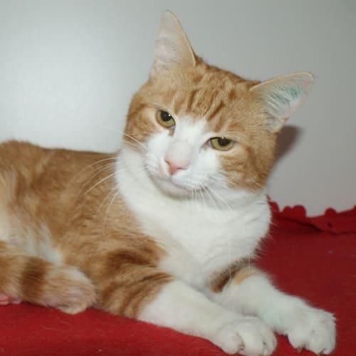 Arthur SUA004150 - Domestic Short Hair Cat