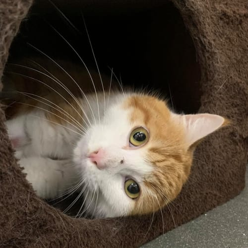 Fonzy - Domestic Short Hair Cat