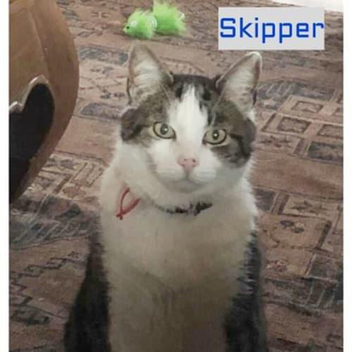 Skipper - Domestic Short Hair Cat