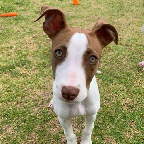 Lizzy - American Staffy Dog
