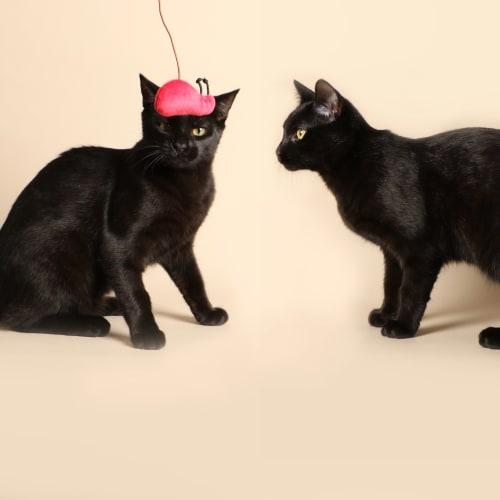 Kit & Joey - Domestic Short Hair Cat