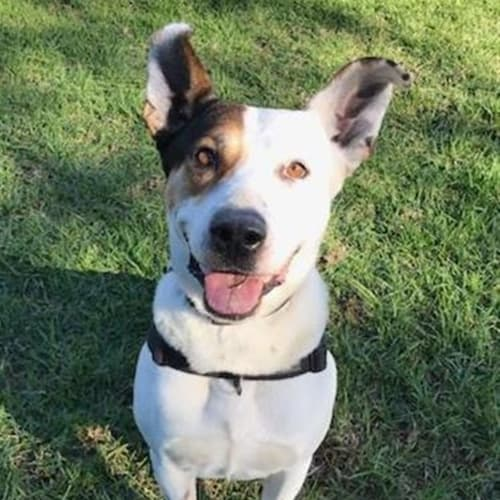 Barrel - Kelpie Dog