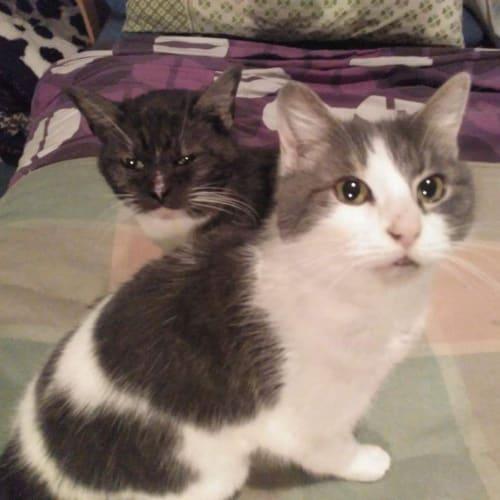 Mimi & Princess - Located in Preston - Domestic Short Hair Cat